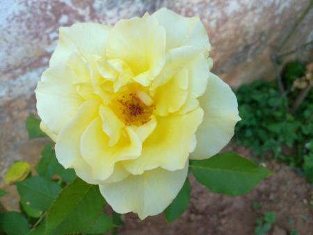 nossa flor amarela